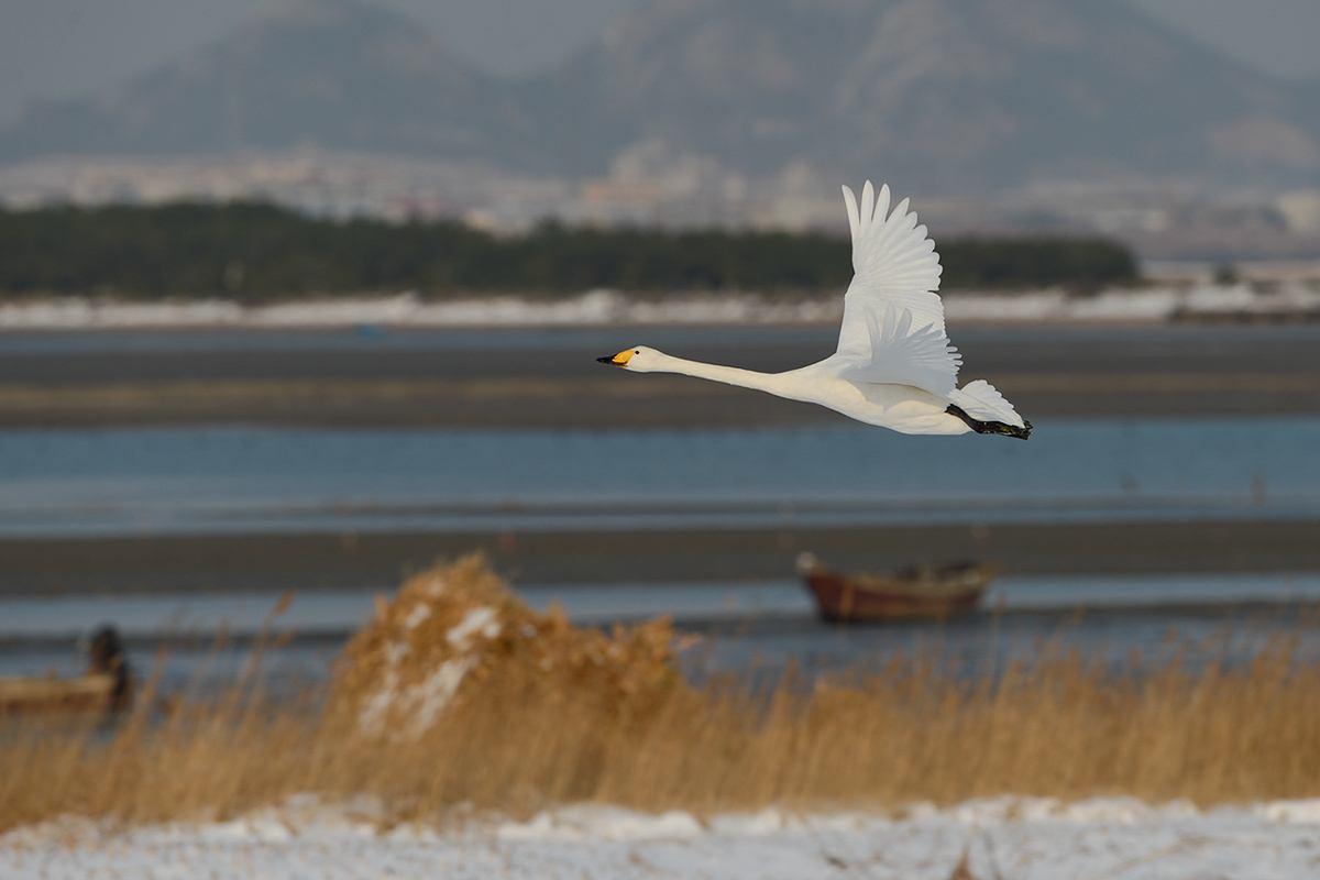互联网江湖上多了一只天鹅